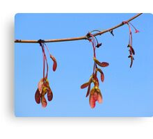Sycamore Seeds in Spring Canvas Print