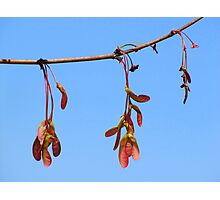 Sycamore Seeds in Spring Photographic Print