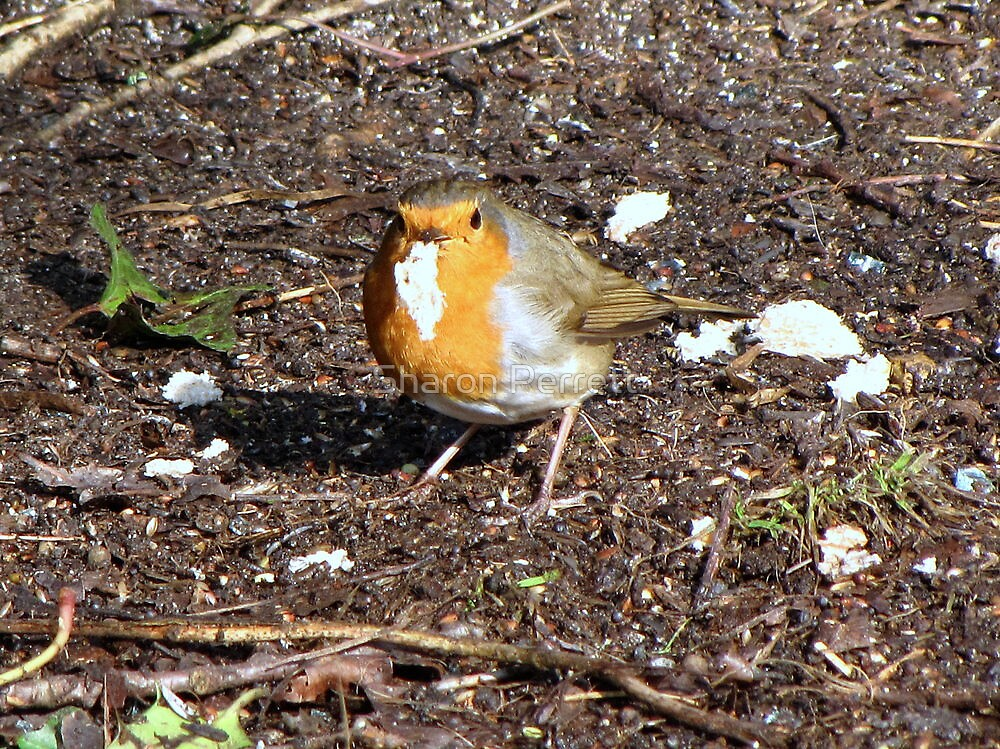 The robin gets it's reward by Sharon Perrett