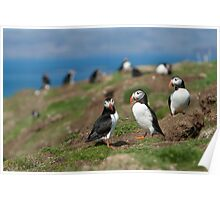 Atlantic puffin community Poster