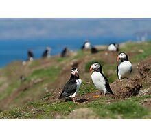 Atlantic puffin community Photographic Print