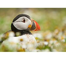 Atlantic puffin profile Photographic Print