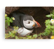 Atlantic puffin burrow Canvas Print