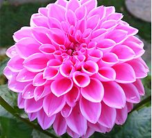Pink to make the boys wink! Dahlia by ElsT