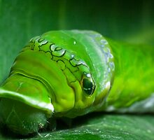 Great mormon caterpillar head by tara-leigh