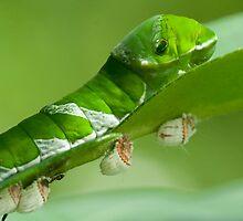 Great mormon caterpillar with eggs by tara-leigh