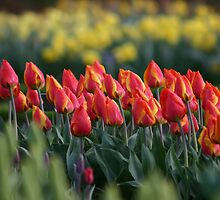 Tulips by Martina Fagan