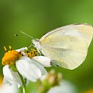 Indian Cabbage White Butterfly by tara-leigh