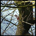 Great spotted Woodpecker by Bootkneck