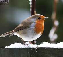 When the Red Red Robin !!!! by AnnDixon