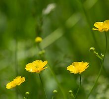 Buttercups by EugeJ