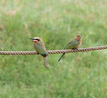 White-fronted bee-eaters by tara-leigh