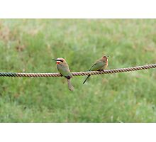 White-fronted bee-eaters Photographic Print