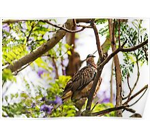 Diamond Dove ( Geopelia Cuneata) Poster