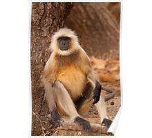 Hanuman Langur Poster