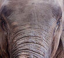 Indian Elephant Close-up by tara-leigh