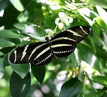 Zebra Longwing Butterfly by Kelley Shannon