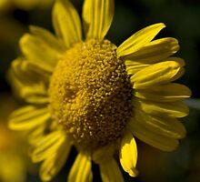 Golden Tan by Joy Watson