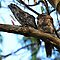 Tawny Frogmouth Owls by KeepsakesPhotography Michael Rowley