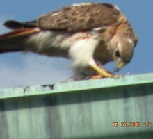 Red tailed hawk eating baby bird it just snatched out of its nest by deborahpuerini