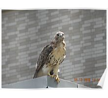 Red tailed hawk near Rhode Island Hospital's Au Bon Pain outside area Poster