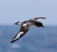 Cape petrel by tara-leigh