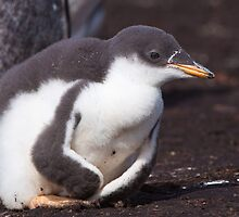 Gentoo Penguin Chick by tara-leigh