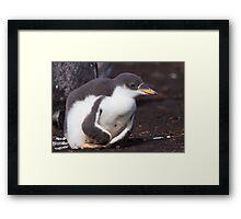 Gentoo Penguin Chick Framed Print