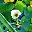 Lillypad flower by Sandra Moore