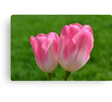 Two Softly Pink Tulips Canvas Print
