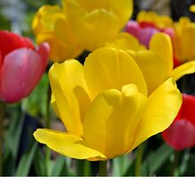 Pink and Yellow Garden Tulips by Kathleen Brant