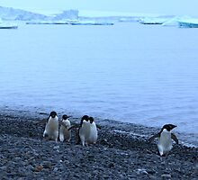 Adelie Penguins in Antarctica, 13 by Janai-Ami