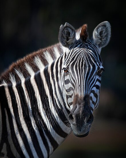 ZEBRA PORTRAIT by Kathy Cline