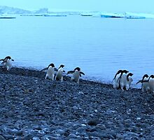 Adelie Penguins in Antarctica,   14 by Janai-Ami