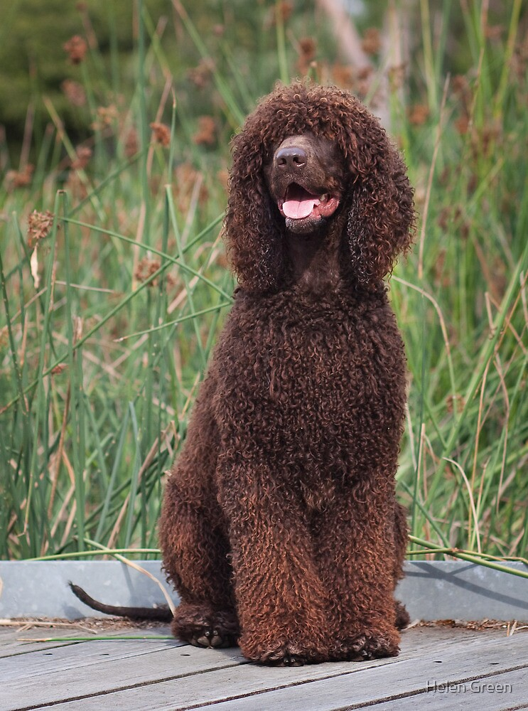 Irish Water Spaniel by Helen Green
