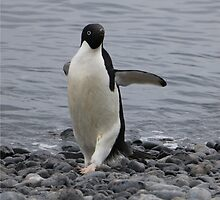 Adelie Penguins in Antarctica,   16 by Janai-Ami