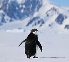 Adelie Penguins in Antarctica,   20 by Janai-Ami