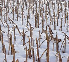 Winter Corn Field by clizzio