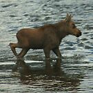Baby Moose at Rocky Mountain National Park by Susan Russell