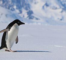 Adelie Penguin in Antarctica,   23 by Janai-Ami