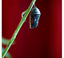 Monarch Butterfly Crysalis before hatching Photographic Print