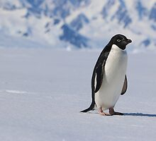 Adelie Penguins in Antarctica,   25 by Janai-Ami