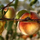 Peachy by Maryanne Lawrence