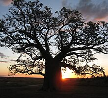 Boab tree silhouette at sunset by Tim Coleman