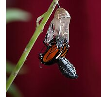 Monarch Butterfly Emerging from Crysalis Photographic Print