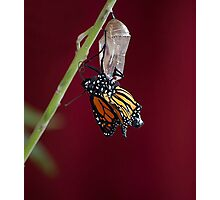 Monarch Butterfly Emerging from the Crysalis 2 Photographic Print