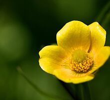 Buttercup by EugeJ