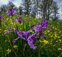 Wild Iris and Buttercups by Charles & Patricia   Harkins ~ Picture Oregon