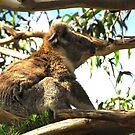 Koala by KeepsakesPhotography Michael Rowley
