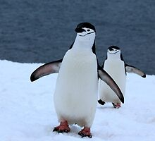Chinstrap penguins in Antarctica, 1 by Janai-Ami